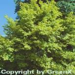 Goldhasel Aurea 125-150cm - Corylus avellana - Vorschau