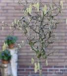 Hochstamm Korkenzieher Hasel 60-80cm - Corylus avellana - Vorschau
