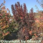 Hochstamm Perückenstrauch Royal Purple 60-80cm - Cotinus coggygria - Vorschau