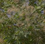 Perückenstrauch Smokey Joe 30-40cm - Cotinus coggygria