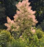 Grüner Perückenstrauch Young Lady 30-40cm - Cotinus coggygria - Vorschau