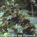 Spitzblättrige Strauchmispel 125-150cm - Cotoneaster acutifolius