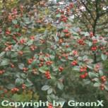 Fruchtmispel 100-125cm - Cotoneaster franchetii