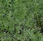 Silber Fliederpolster - Cotula hispida