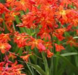 Garten Monbretie Babylon - Crocosmia crocosmiiflora - Vorschau