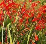 Garten Monbretie Lucifer - Crocosmia masoniorum