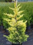 Baumzypresse Tweeduizendeen 100-125cm - Cupressocyparis leylandii