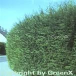Leyland Zypresse 60-80cm - Cupressocyparis Leylandii