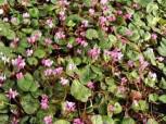 Frühlings Alpenveilchen Rubrum - Cyclamen coum - Vorschau