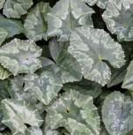 Herbst Alpenveilchen Amaze Me - Cyclamen hederifolium