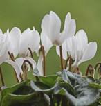 Herbst Alpenveilchen Ice Pure White - Cyclamen hederifolium - Vorschau