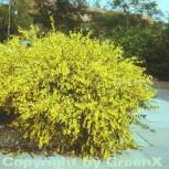 Elfenbein Ginster Allgold 30-40cm - Cytisus praecox