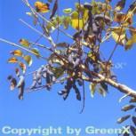 Blaugurkenbaum 60-80cm - Decaisnea fargesii