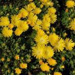 Mittagsblümchen Golden Nugget - Delosperma congestrum - Vorschau