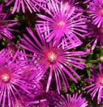 Mittagsblümchen Table Mountain - Delosperma congestum
