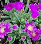 Violettes Mittagsblümchen - Delosperma sutherlandii - Vorschau