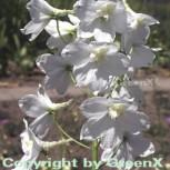 Rittersporn Moerheim - Delphinium belladonna - Vorschau