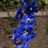 Rittersporn Balaton - Delphinium belladonna - Vorschau