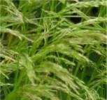 Waldschmiele Tardiflora - Deschampsia