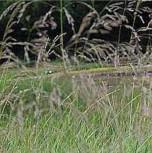 Waldschmiele Tauträger - Deschampsia