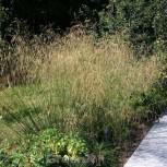 Waldschmiele Schottland - Deschampsia cespitosa - Vorschau