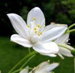 Kleine Deutzie Maiblumenstrauch 30-40cm - Deutzia gracilis - Vorschau