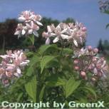 Rosendeutzie 80-100cm - Deutzia hybrida