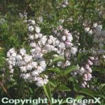Gefüllter Sternchenstrauch 80-100cm - Deutzia scabra Plena