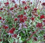 Bartnelke Sooty - Dianthus barbatus - Vorschau