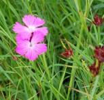 Rote Karthäuser Nelke - Dianthus carthusianorum