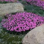 Pfingstnelke Dinetta Pink - Dianthus gratianopolitanus - Vorschau