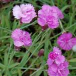 Pfingstnelke Pink Jewel - Dianthus gratianopolitanus - Vorschau