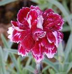 Pfingstnelke Whatfield Gem - Dianthus gratianopolitanus - Vorschau