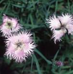 Montpellier Nelke - Dianthus monspessulanus - Vorschau