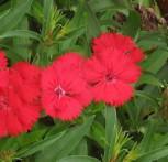 Federnelke Munot - Dianthus plumarius