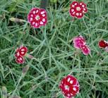 Federnelke Waithman´s Beauty - Dianthus plumarius