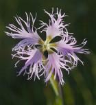 Prachtnelke Olivia - großer Topf - Dianthus superbus