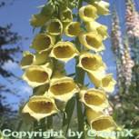 Großblütiger Fingerhut - Digitalis grandiflora