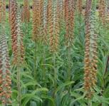 Kleinblütiger Fingerhut - Digitalis parviflora