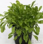 Stauden Rucola - Diplotaxis tenuifolia - Vorschau