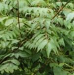 Dipteronia 100-125cm - Dipteronia sinensis - Vorschau