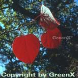 Doppelblüte 80-100cm - Disanthus cercidifolius - Vorschau