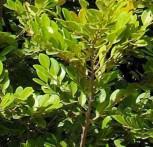 Immergrüner Hexenhasel 60-80cm - Distylium racemosum - Vorschau