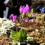 Götterblume Rote Farben - Dodecatheon meadia - Vorschau
