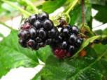 Brombeere Navaho - Rubus fruticosus