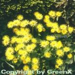 Gemswurz Finesse - Doronicum orientale