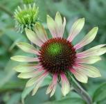 Sonnenhut Green Envy - Echinacea cultorum - Vorschau