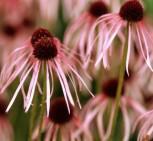 Bleicher Sonnenhut - Echinacea pallida - Vorschau