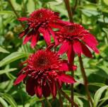 Sonnenhut Scoop Cranberry - Echinacea purpurea