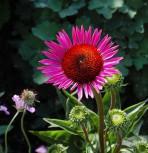 Sonnenhut Vintage Wine - Echinacea purpurea - Vorschau